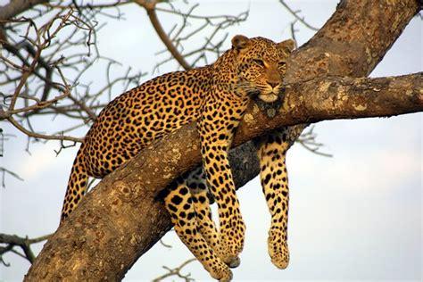 Big Picture Post Nation 5 by Wildtier Lexikon Leopard Ein Herz F 220 R Tiere Magazin