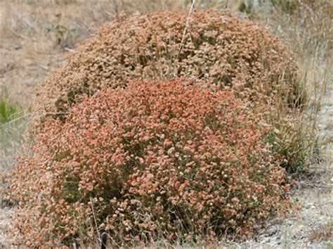 Pink Spring Flowering Shrubs - eriogonum fasciculatum eastern mojave buckwheat california buckwheat southeastern arizona