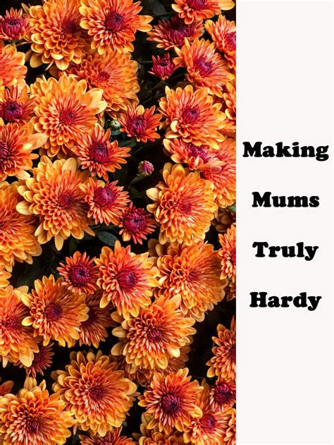 17 best ideas about hardy mums on pinterest shrubs definition of thrive and perennial