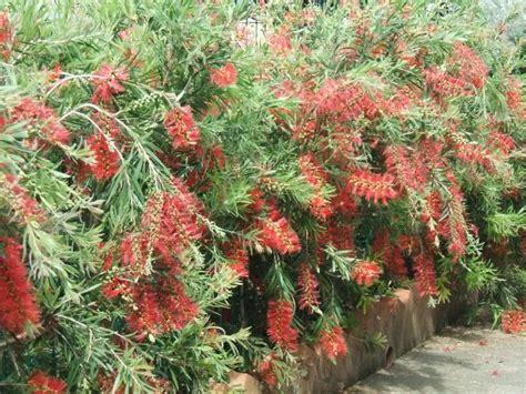 fiori per bordure basse piante da bordura sempreverdi azienda vivaistica gelli