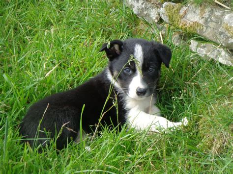 sheepdog puppy border collie sheepdog puppies builth powys pets4homes