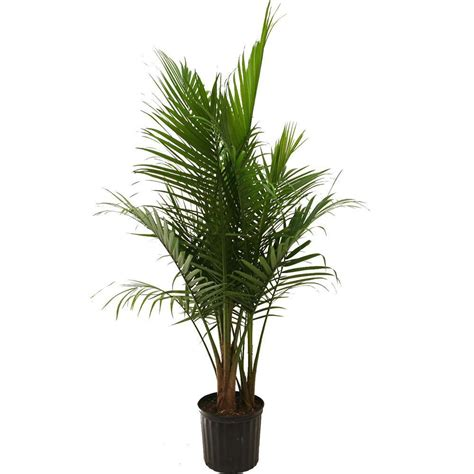 delray plants 9 1 4 in majesty palm in pot 10maj the