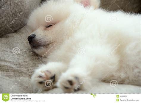 sleeping pomeranian pomeranian puppy sleeping in the bed closeup stock photo image 49386276