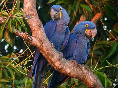 the not so complete birds afoul of america books hyacinth macaws pictures animals wiki