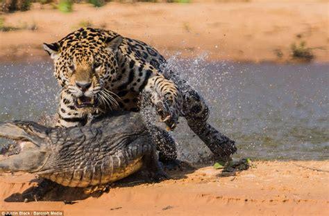 imagenes del jaguar animal jaguar cazando un caim 225 n