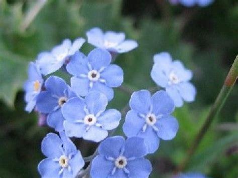 Fleurs Qui Resistent Au Vent by Le Myosotis Une Plante Tr 232 S Fleur Bleue