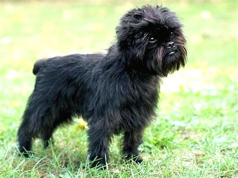 breeds and personalities breeds affenpinscher temperament and personality dogalize