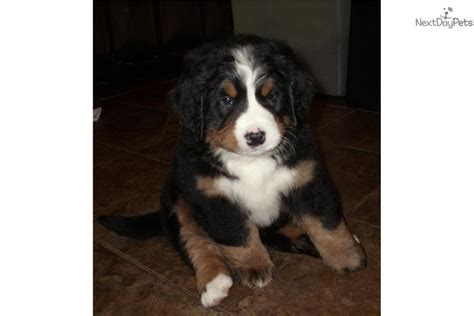 puppies for sale in grand forks nd bernese mountain puppy for sale near grand forks dakota b68df9e4 9831
