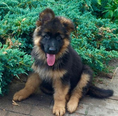 haired german shepherd puppy new haired german shepherd puppy german shepherd forums