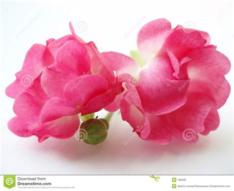 red and pink background royalty free stock images image pink roses on white background stock image image 186205