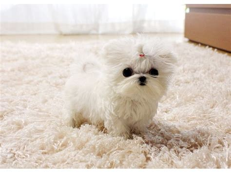 puppies for adoption hawaii charming akc healthy teacup maltese puppies for adoption animals honolulu