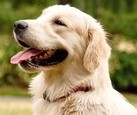 golden retriever appartamento labrador da appartamento duylinh for