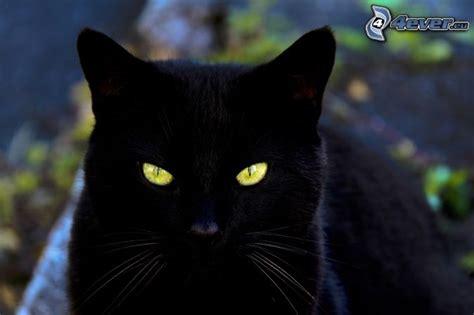 imágenes gato negro mirada felina