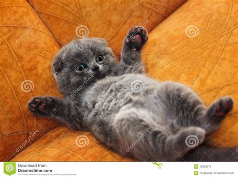 British Shorthair kitten stock image. Image of feline