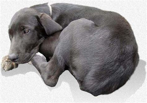 parvo puppy parvovirus 101