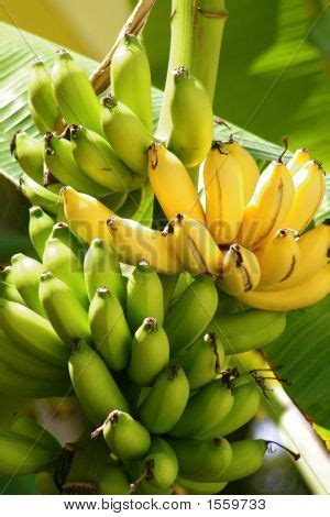 Picture or Photo of Yellow and green bananas clustered on ... Yellow Banana Tree