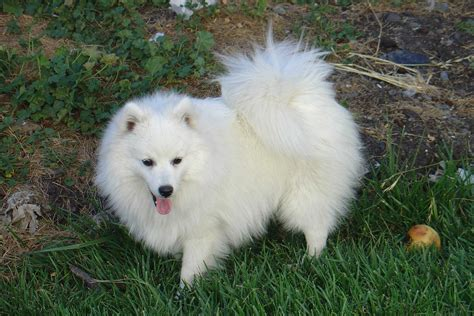 japanese spitz puppies introduction to 1stopfordogs for japanese spitz