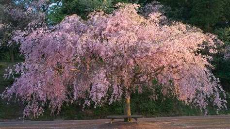 cherry tree b b ballyconnell a weeping cherry tree in the sunset light 夕暮れのしだれ flickr
