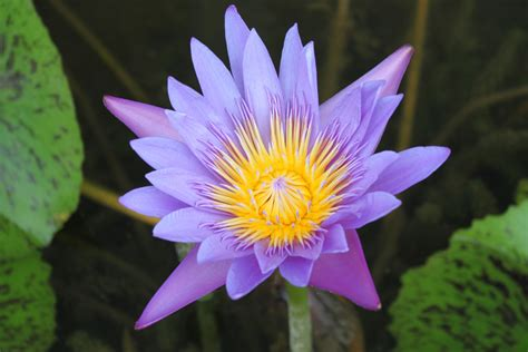 Lotus Colors Lotus Flower Colors Pictures To Pin On Pinsdaddy