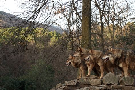 giardino zoologico di pistoia storia di un branco di lupi giardino zoologico di pistoia