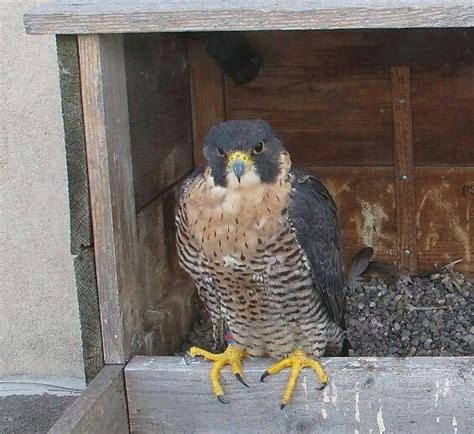 17 best images about falcons on pinterest peregrine