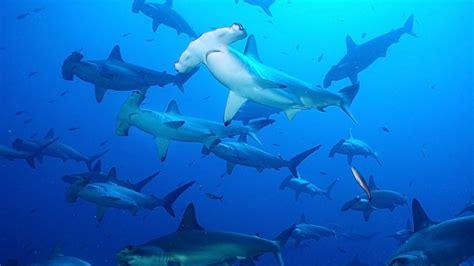 Hammerhead Shark Wallpaper hammerhead sharks desktop wallpaper hd wallpapers13