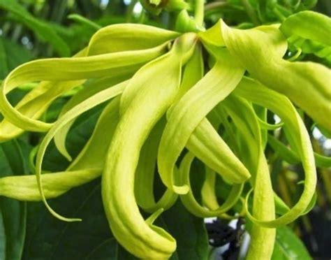 Minyak Atsiri Kenanga 12 tanaman sebagai bahan parfum dan kosmetik