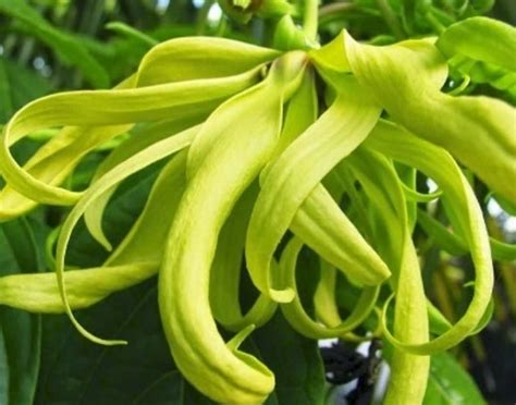 50ml Minyak Kayu Manis Cinnamon Bark Essential Oils 100 12 tanaman sebagai bahan parfum dan kosmetik