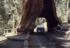 Chandelier Tree Redwood National Park Wawona Tree The Tunnel Tree Giant Sequoia Xcitefun Net