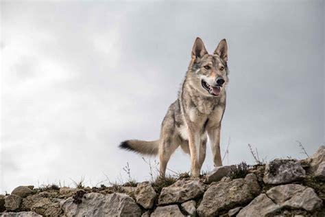el lobo de los 1519600925 museo del desierto un santuario para el lobo mexicano