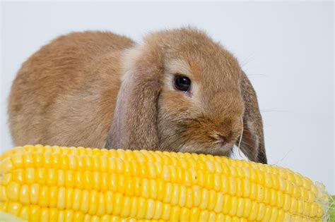 can rabbits eat corn using corn as a treat apr 2018