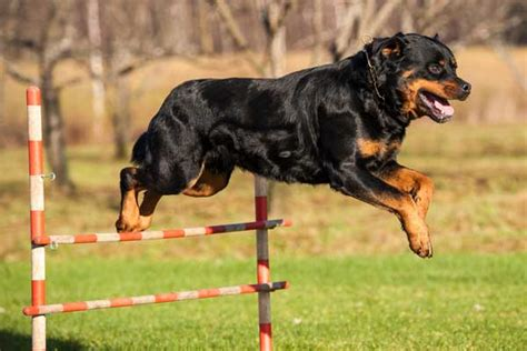 the rottweiler club breeds in america