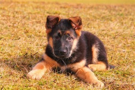 german shepherd puppie german shepherd not in the housenot in the house
