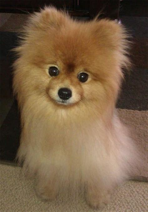 rescue a pomeranian 1000 ideas about pomeranian rescue on teddy pomeranian baby