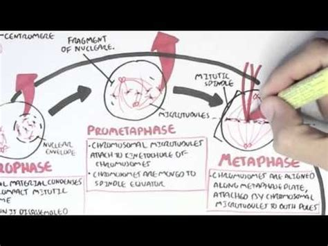 microbiology tutorial questions cell cycle mitosis youtube microbiology pinterest