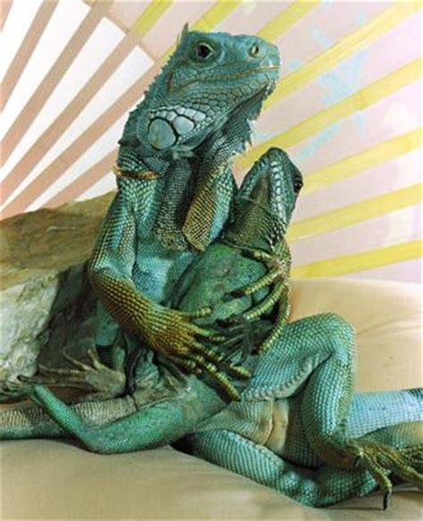 the human lizard you live with what picture lounge lizards calif
