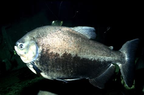 pacu biting fish will target dippers authorities warn