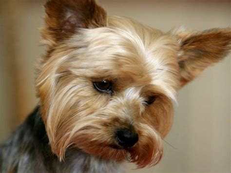 yorkies personality 10 things only a terrier owner would understand pets fans