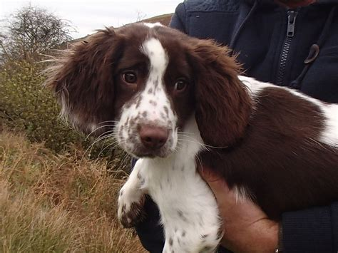 springer spaniel puppies for adoption springer spaniel rescue breeds picture