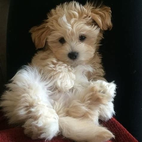 maltese x poodle lifespan 181 best tiere images on fluffy pets adorable