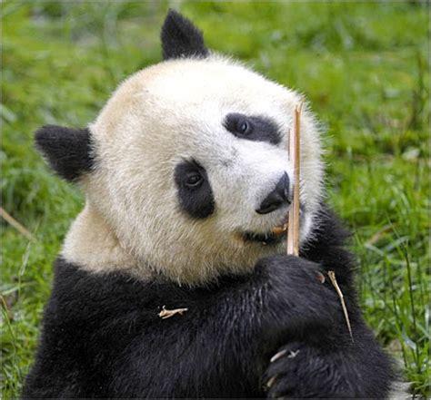 Panda Lucu gambar panda lucu serta asal usul panda ayeey