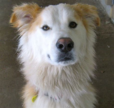 alaskan husky and golden retriever mix golden retriever husky mix pictures to pin on