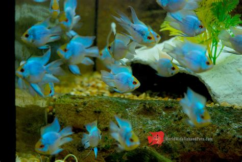 Blue Electric Ballon buy electric blue balloon belly ram world wide fish and pets