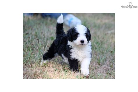 miniature aussiedoodle puppies for sale aussiedoodle rescue puppies for sale breeds picture
