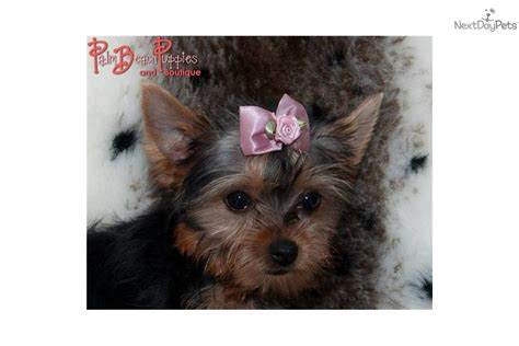 teddy yorkies for sale teddy yorkie baby terrier yorkie puppy for sale near fort