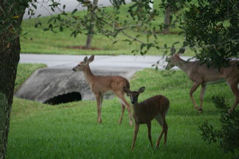 deer in backyard deer in the backyard