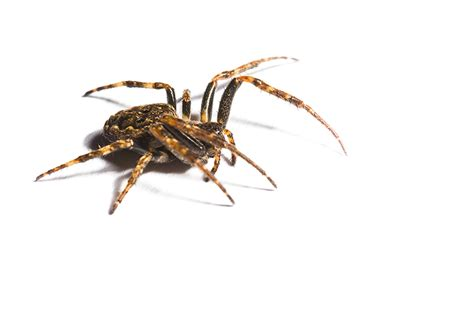 are house spiders dangerous are house spiders dangerous 28 images aggressive house spider bite www pixshark
