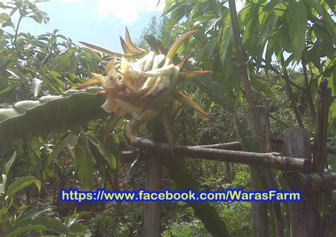 Bibit Buah Naga Busuk agar tambulot tanaman buah dalam pot cepat berbuah
