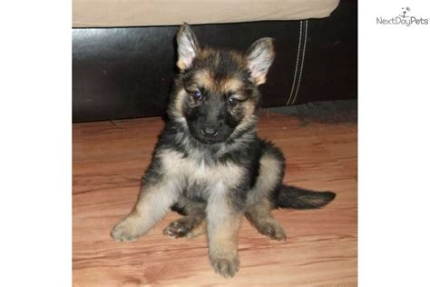 cheap puppy german shepherd puppies cheap breeds picture