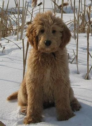 how to bathe a goldendoodle puppy 130 best images about golden doodle grooming styles on